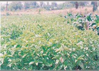Tukh Malanga Sabza Sweet Basil Seed Ocimum Basilicum Indpaedia