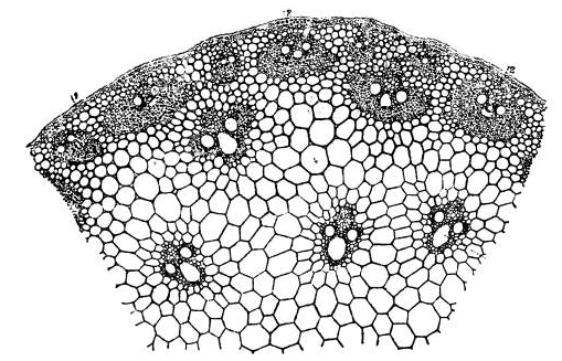 Transverse section of a portion of the stem of Rottboellia exaltata. × 70 1. Epidermis; 2. sclerenchyma; 3. vascular bundle.png